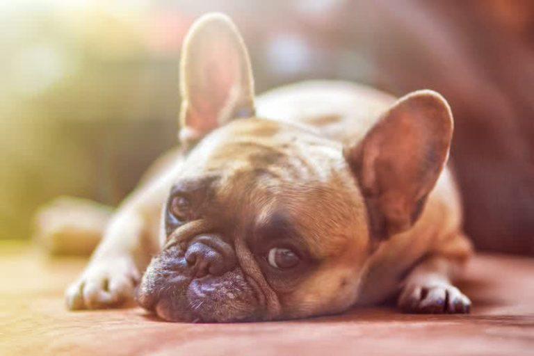 5 šunų veislės, tinkamos auginti bute