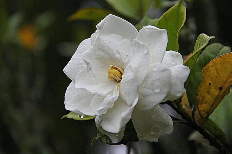 5 skaniausiai kvepiančios gėlės pasaulyje
