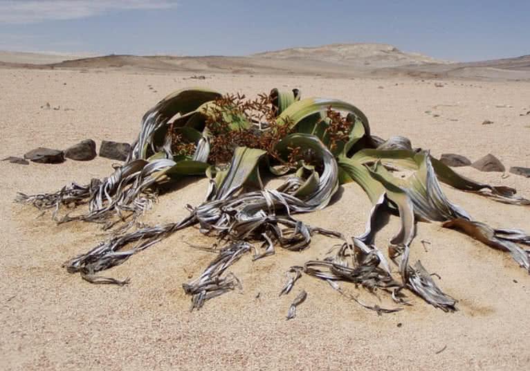 5 paslaptingiausi dykumų augalai
