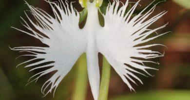 5 gražiausios orchidėjos pasaulyje