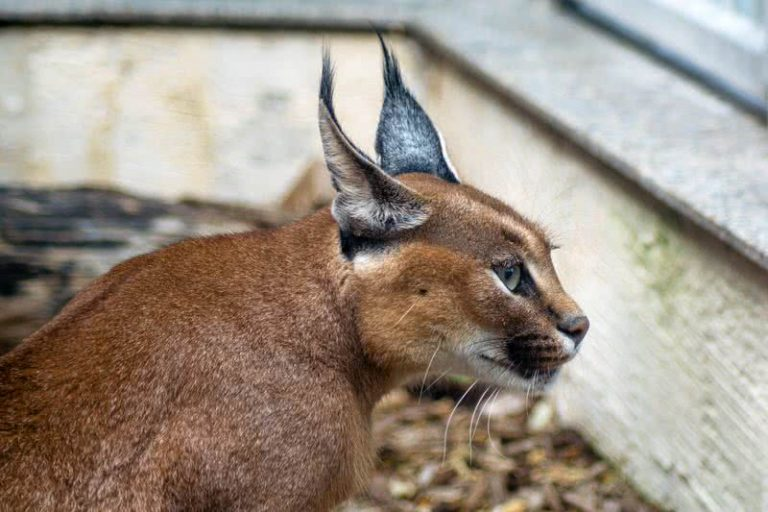 5 mažiau žinomos laukinių kačių rūšys pasaulyje