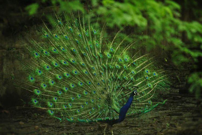 5 paukščiai gražiausiomis uodegomis
