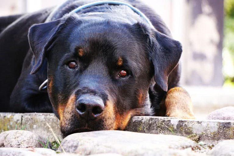 5 lengviausiai dresuojamos šunų veislės